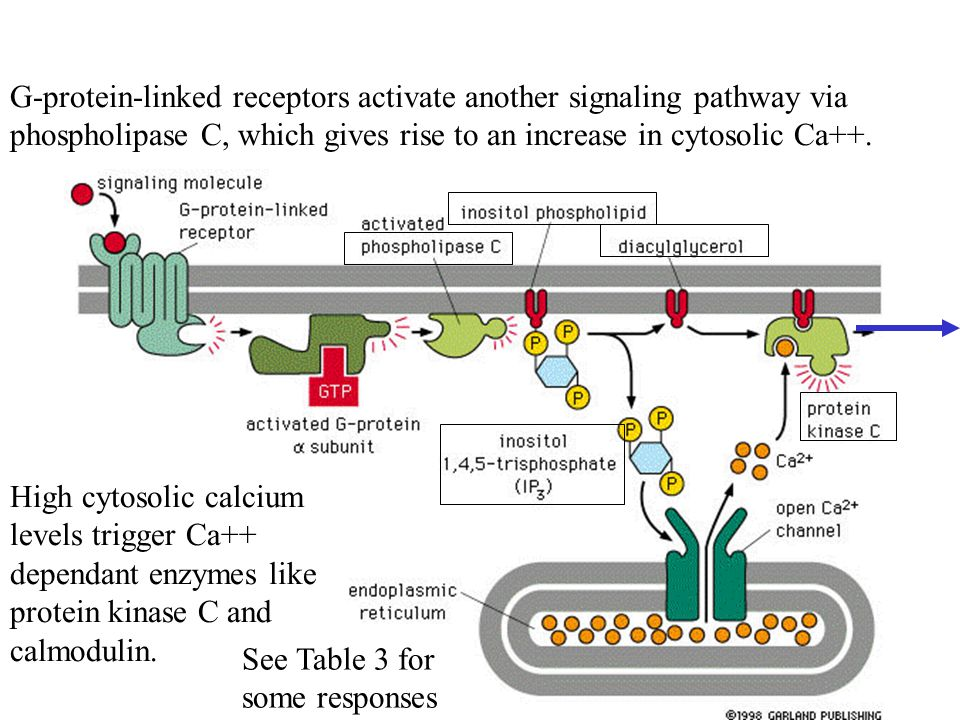 G-protein-linked receptors activate another signaling pathway via phospholipase C, which gives rise to an increase in cytosolic Ca++.