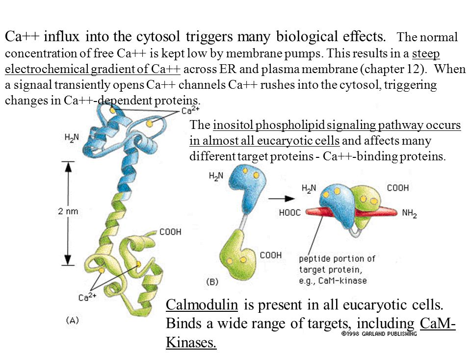 Ca++ influx into the cytosol triggers many biological effects