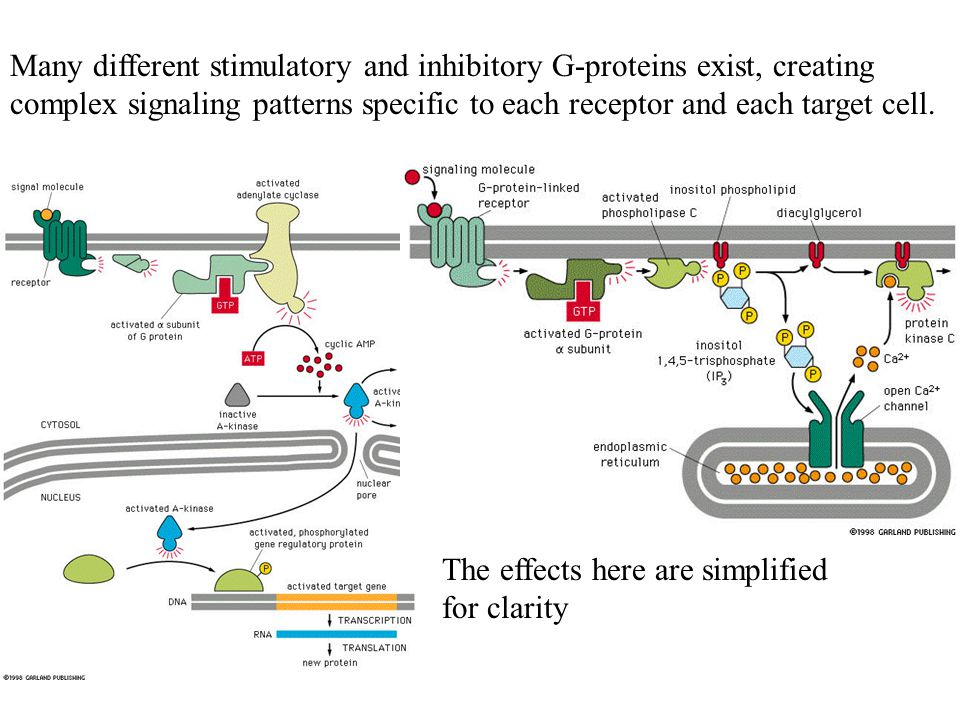 Many different stimulatory and inhibitory G-proteins exist, creating complex signaling patterns specific to each receptor and each target cell.