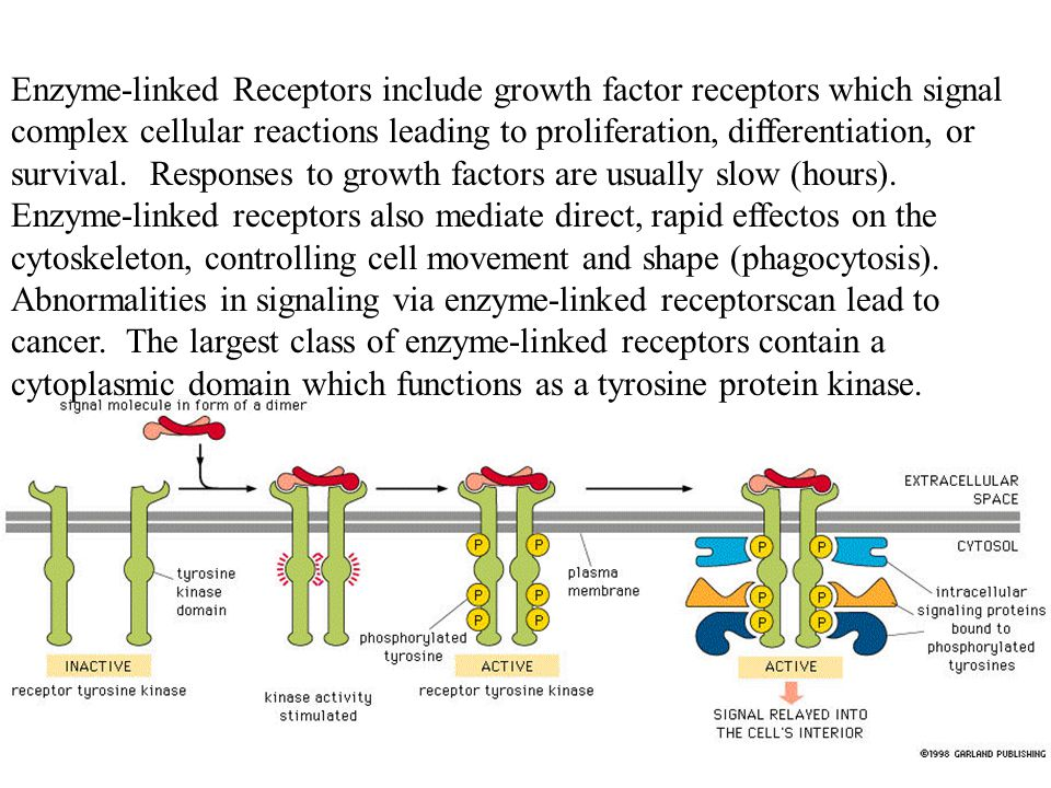 Enzyme-linked Receptors include growth factor receptors which signal complex cellular reactions leading to proliferation, differentiation, or survival.