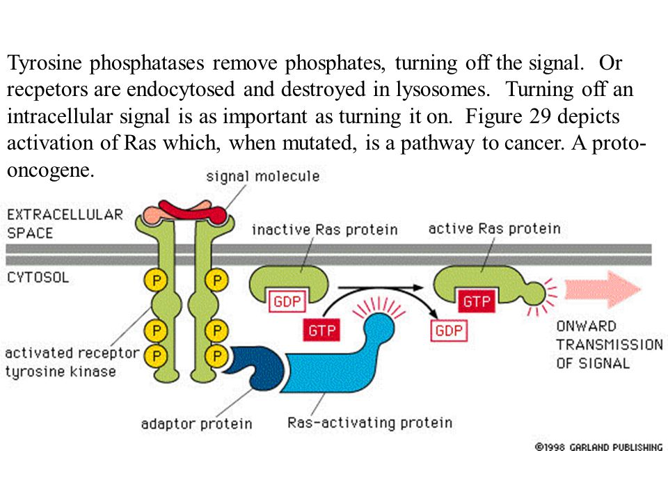 Tyrosine phosphatases remove phosphates, turning off the signal