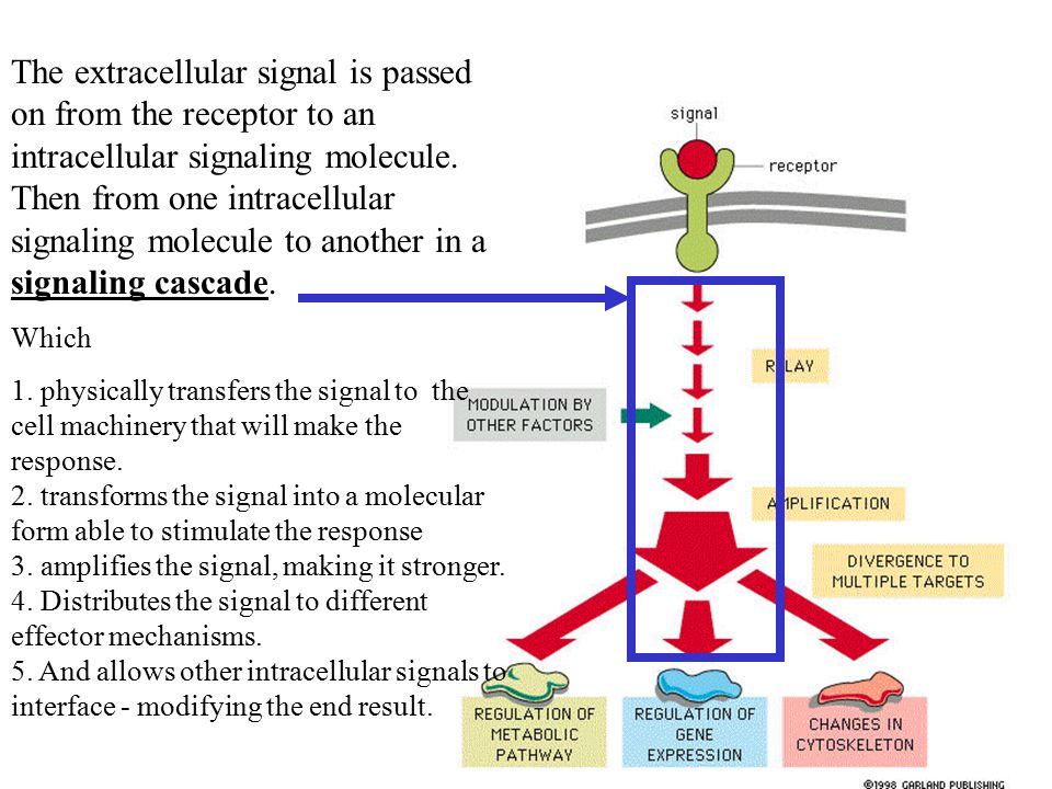 The extracellular signal is passed on from the receptor to an intracellular signaling molecule. Then from one intracellular signaling molecule to another in a signaling cascade.