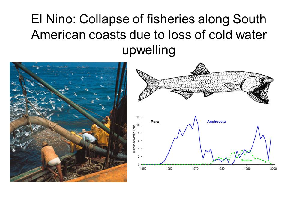 El Nino: Collapse of fisheries along South American coasts due to loss of cold water upwelling