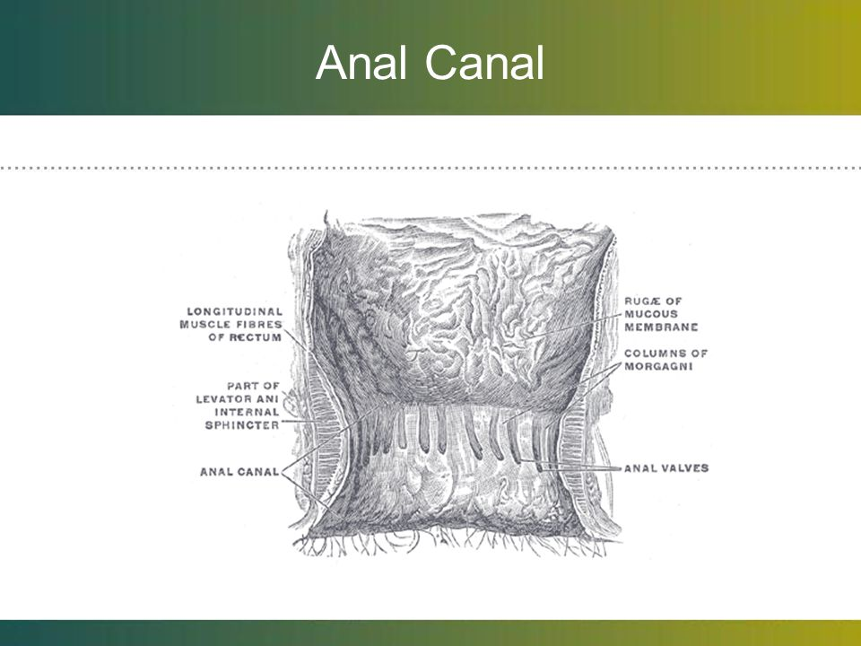 Anal Canal Anal columns of Morgagni: longitudinal folds just distal to dentate line.