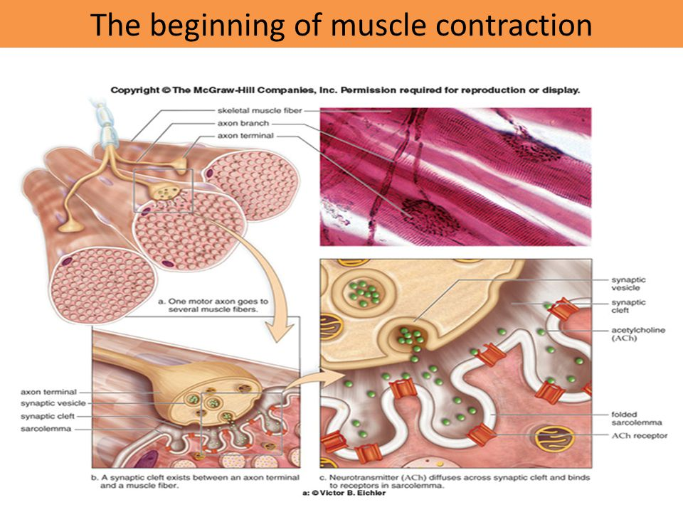 The beginning of muscle contraction
