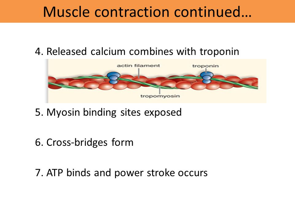 Muscle contraction continued…