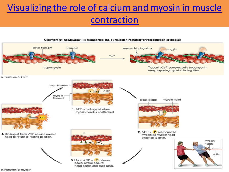 Visualizing the role of calcium and myosin in muscle contraction