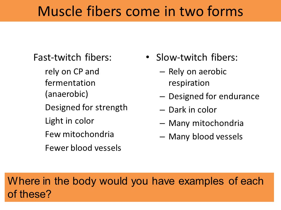 Muscle fibers come in two forms
