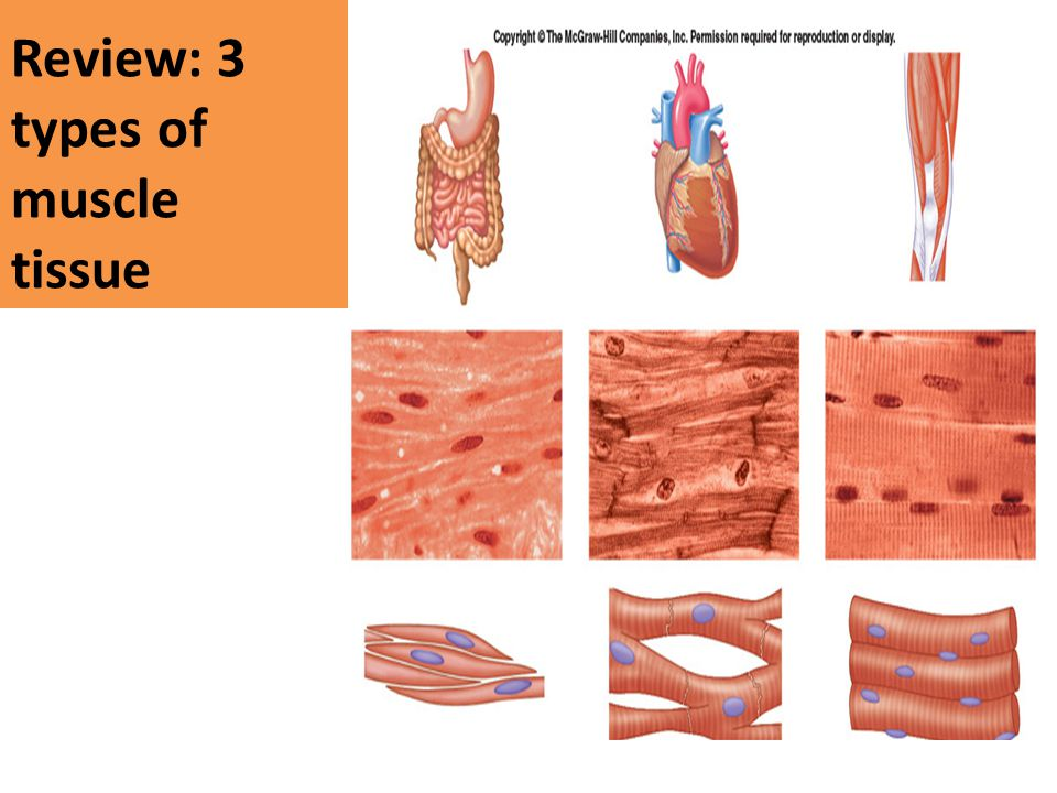 Review: 3 types of muscle tissue