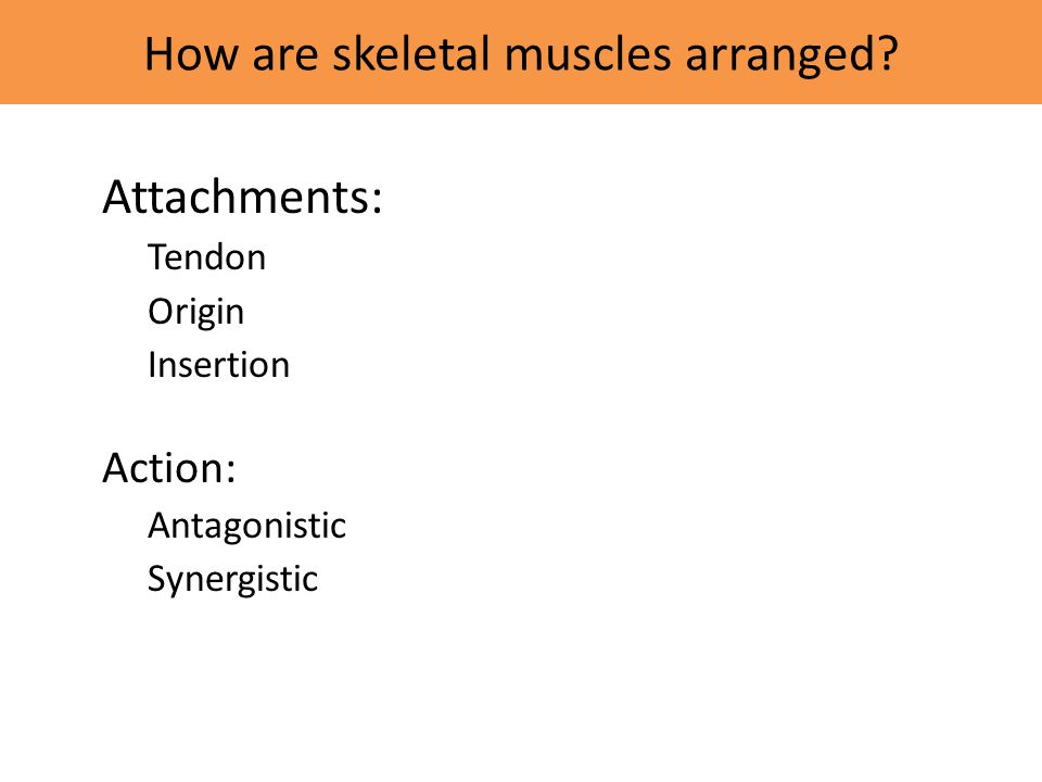 How are skeletal muscles arranged
