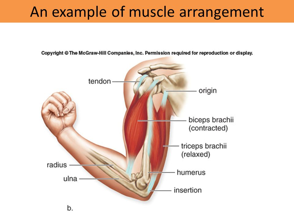 An example of muscle arrangement