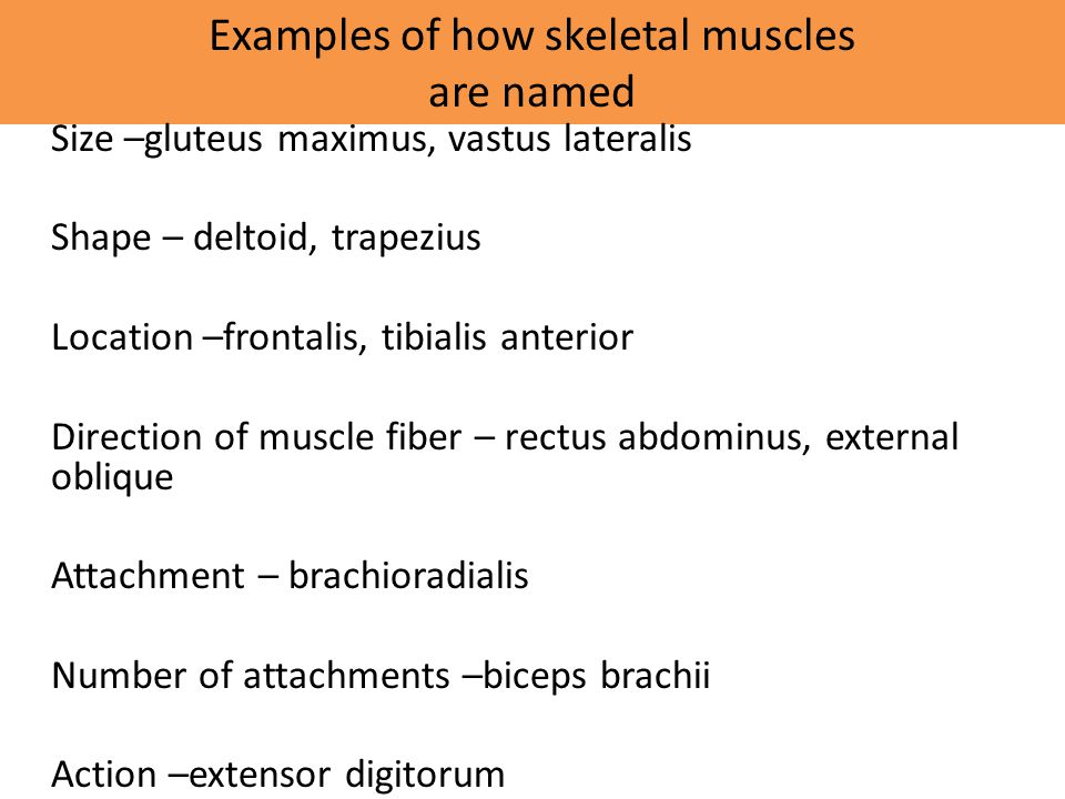 Examples of how skeletal muscles are named