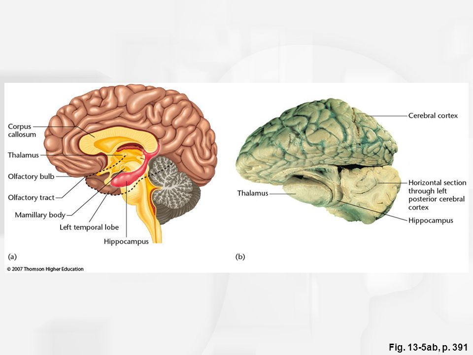 Fig. 13-5ab, p. 391 Figure 13.5: The hippocampus.