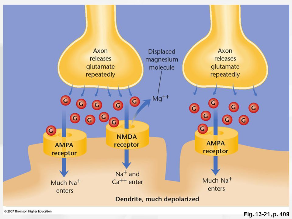 Figure 13.21: The AMPA and NMDA receptors during LTP.