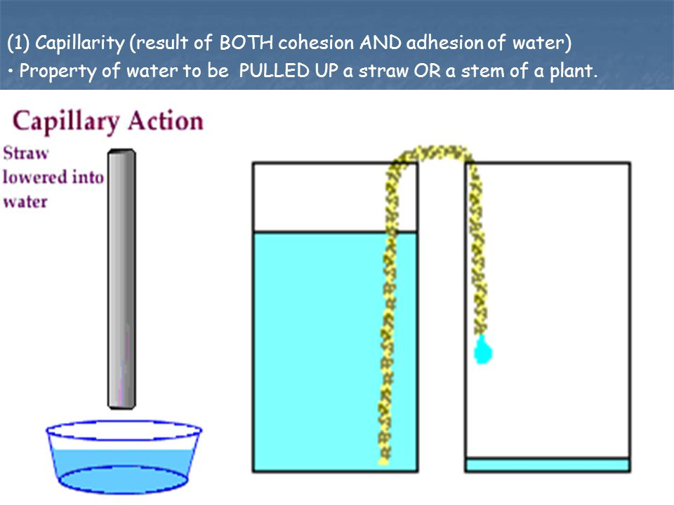 (1) Capillarity (result of BOTH cohesion AND adhesion of water)