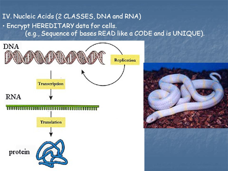 IV. Nucleic Acids (2 CLASSES, DNA and RNA)