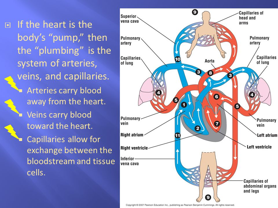 If the heart is the body's pump, then the plumbing is the system of arteries, veins, and capillaries.