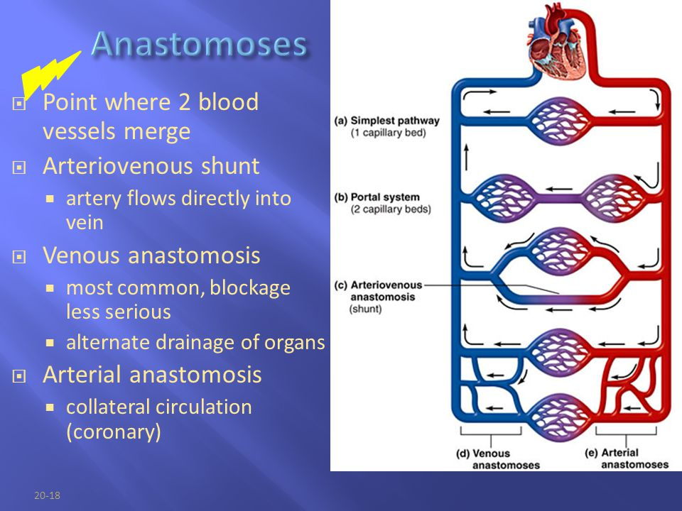 Anastomoses Point where 2 blood vessels merge Arteriovenous shunt
