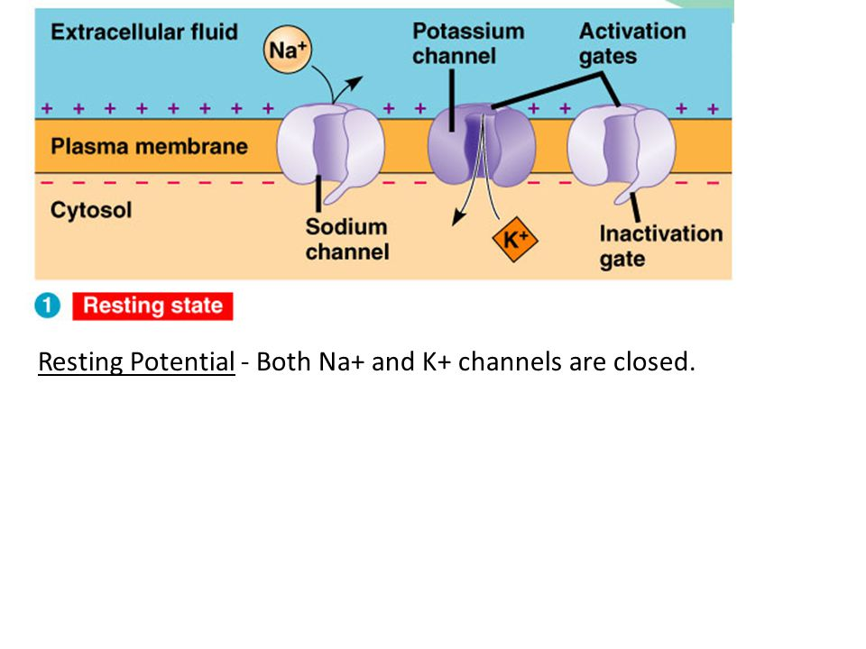 Resting Potential - Both Na+ and K+ channels are closed.