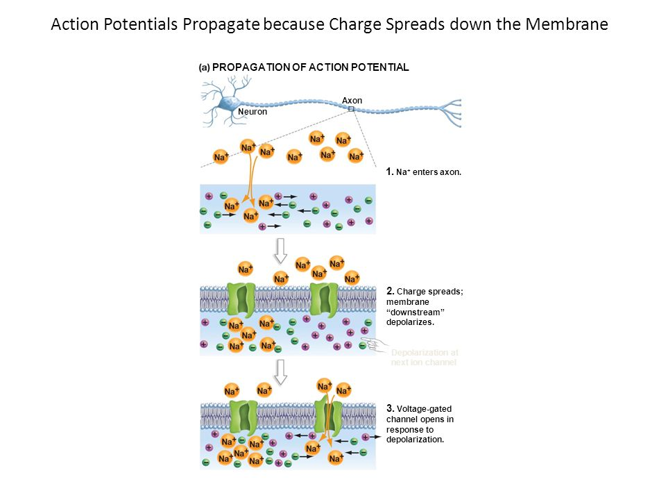 Action Potentials Propagate because Charge Spreads down the Membrane