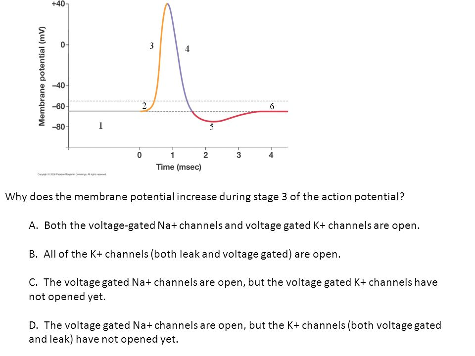 Why does the membrane potential increase during stage 3 of the action potential