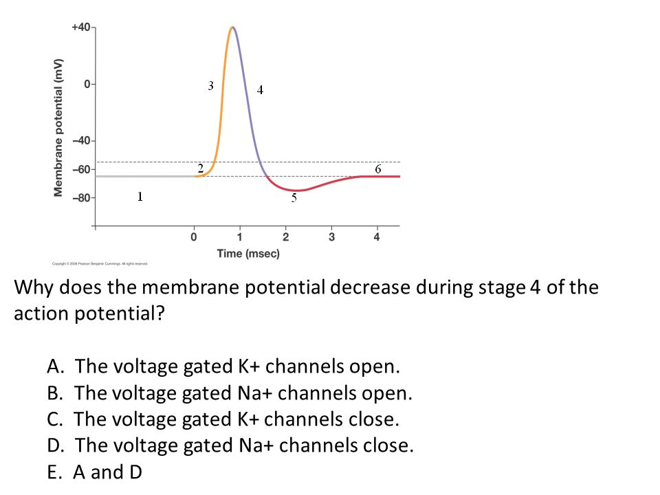 Why does the membrane potential decrease during stage 4 of the action potential