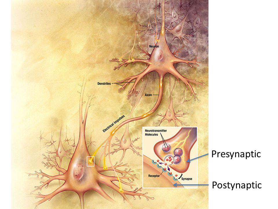 Presynaptic Postynaptic