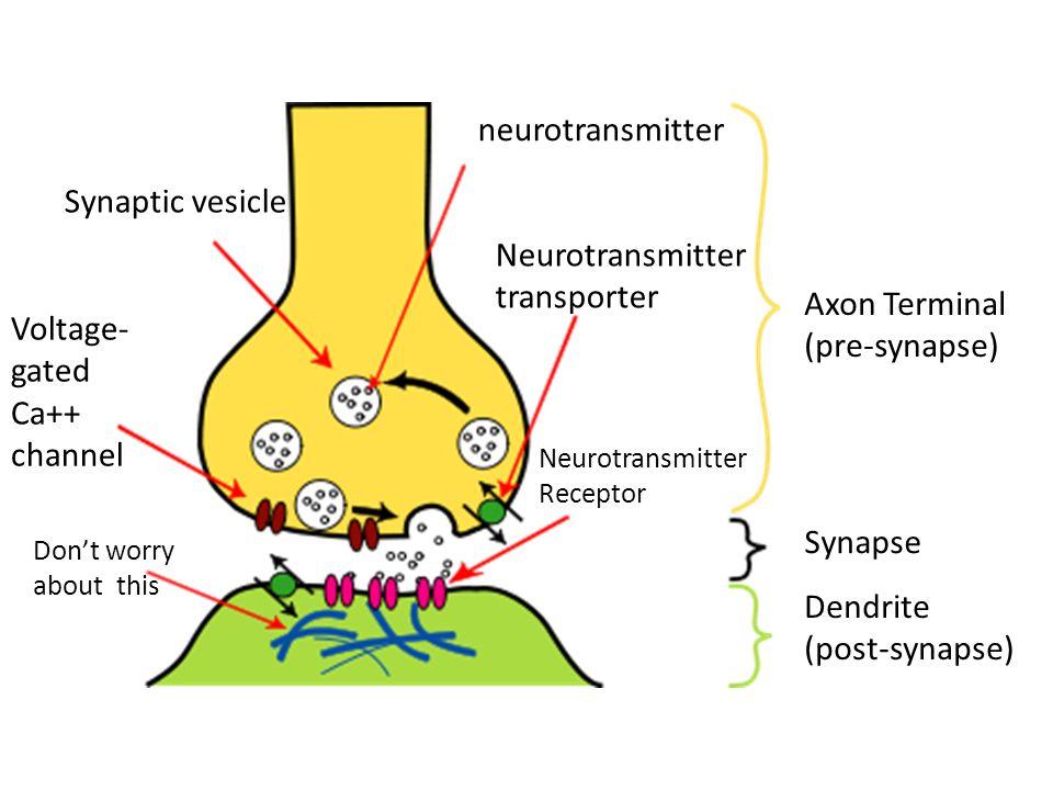 neurotransmitter Synaptic vesicle Neurotransmitter transporter