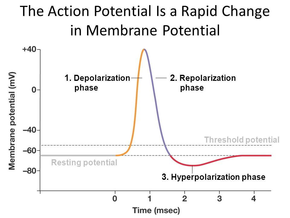 The Action Potential Is a Rapid Change in Membrane Potential