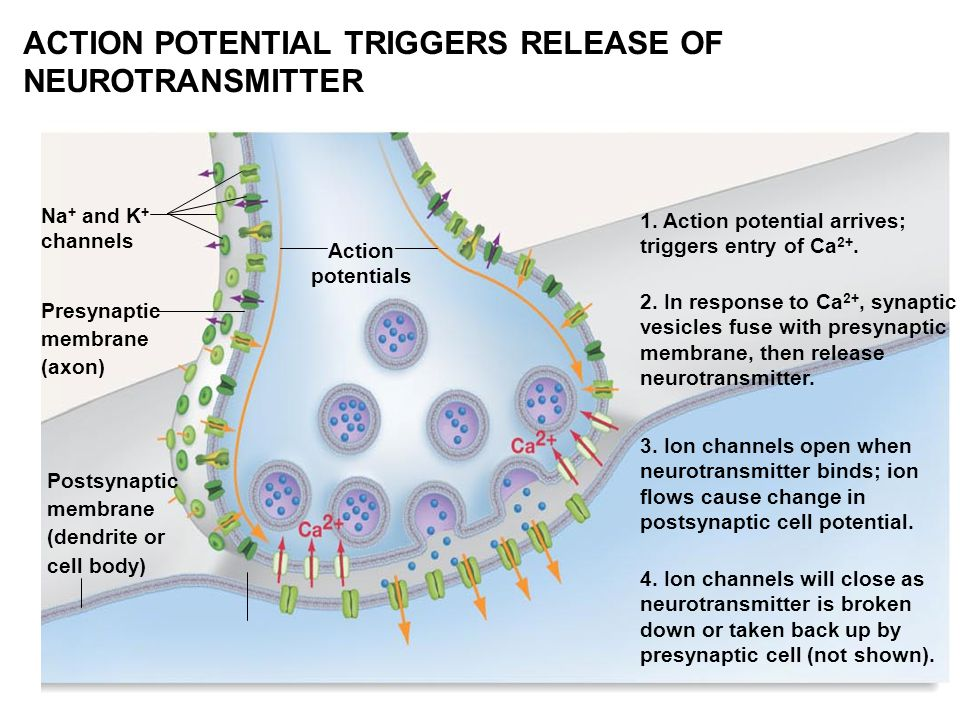 ACTION POTENTIAL TRIGGERS RELEASE OF NEUROTRANSMITTER