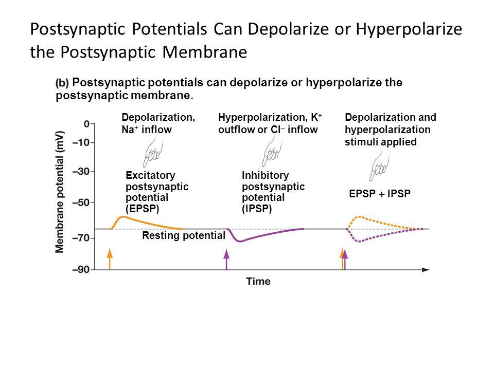 Postsynaptic Potentials Can Depolarize or Hyperpolarize the Postsynaptic Membrane