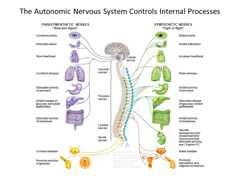 The Autonomic Nervous System Controls Internal Processes