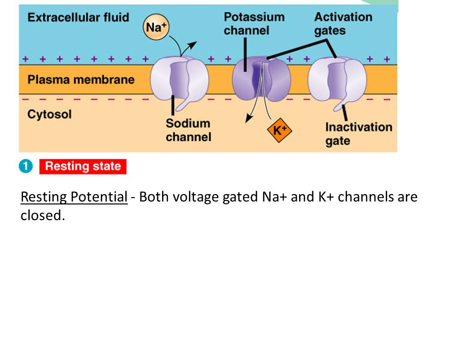 Resting Potential - Both voltage gated Na+ and K+ channels are closed.