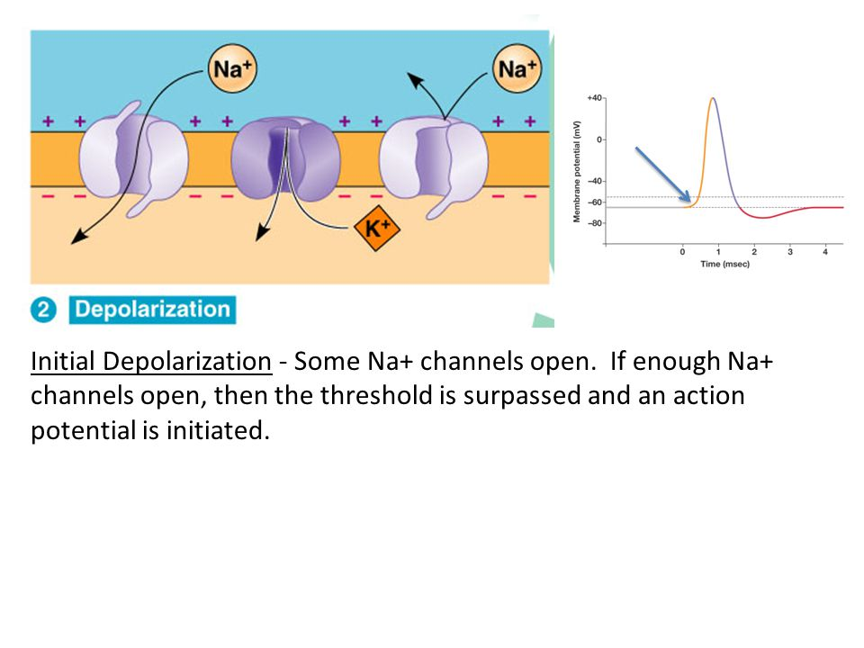 Initial Depolarization - Some Na+ channels open