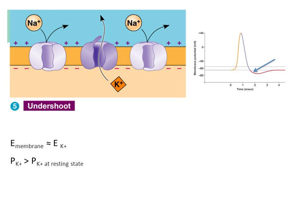 Emembrane ≈ E K+ PK+ > PK+ at resting state
