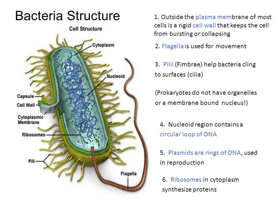 Bacteria Structure 1. Outside the plasma membrane of most cells is a rigid cell wall that keeps the cell from bursting or collapsing