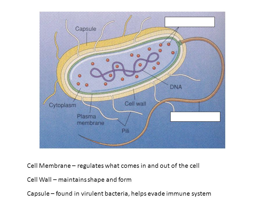 Cell Membrane – regulates what comes in and out of the cell