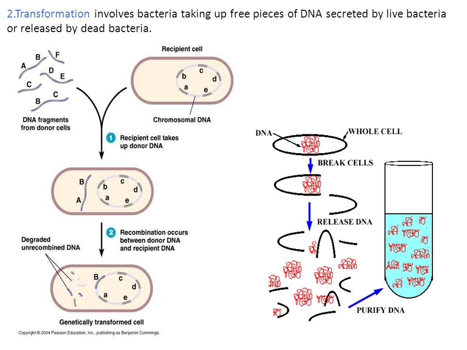 2.Transformation involves bacteria taking up free pieces of DNA secreted by live bacteria or released by dead bacteria.