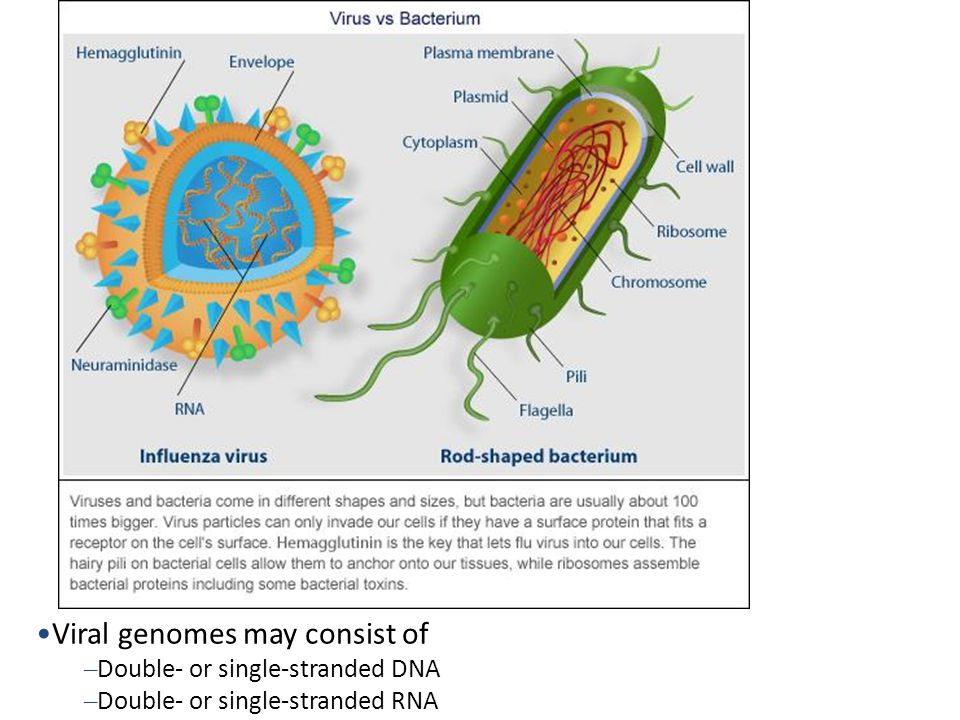 Viral genomes may consist of
