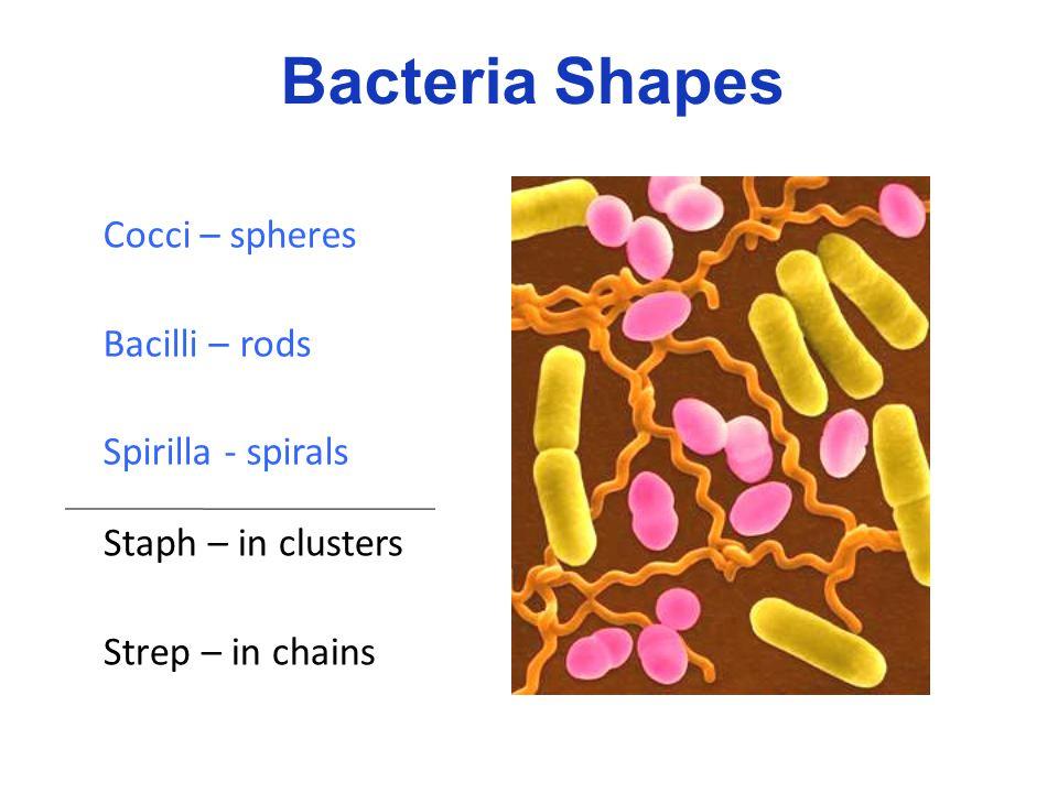 Bacteria Shapes Cocci – spheres Bacilli – rods Spirilla - spirals