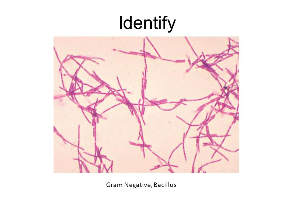Identify Gram Negative, Bacillus