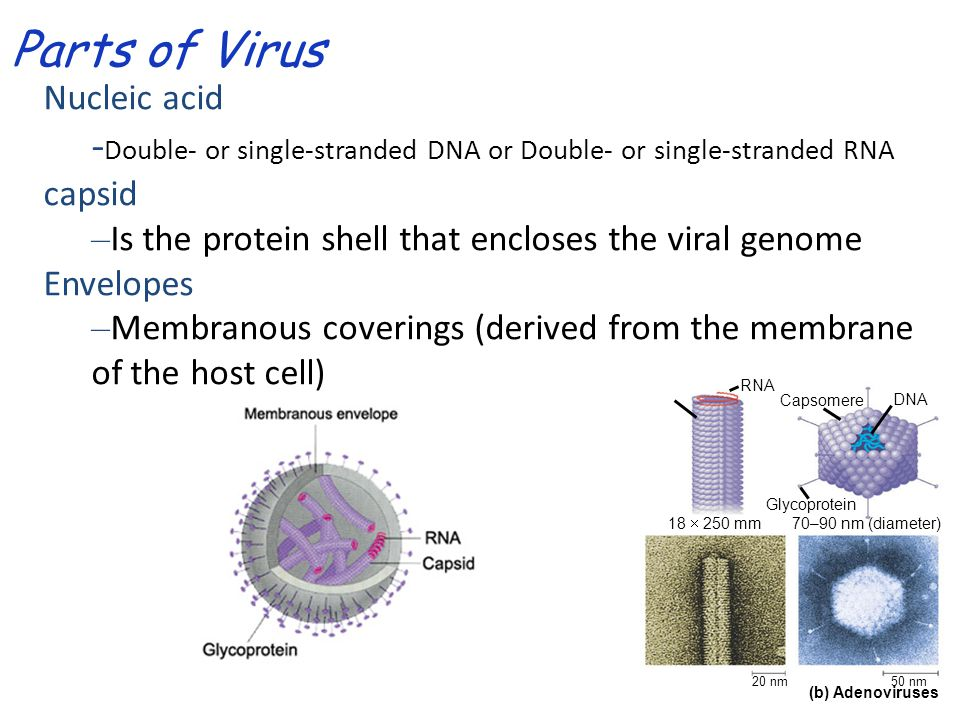 Parts of Virus Nucleic acid