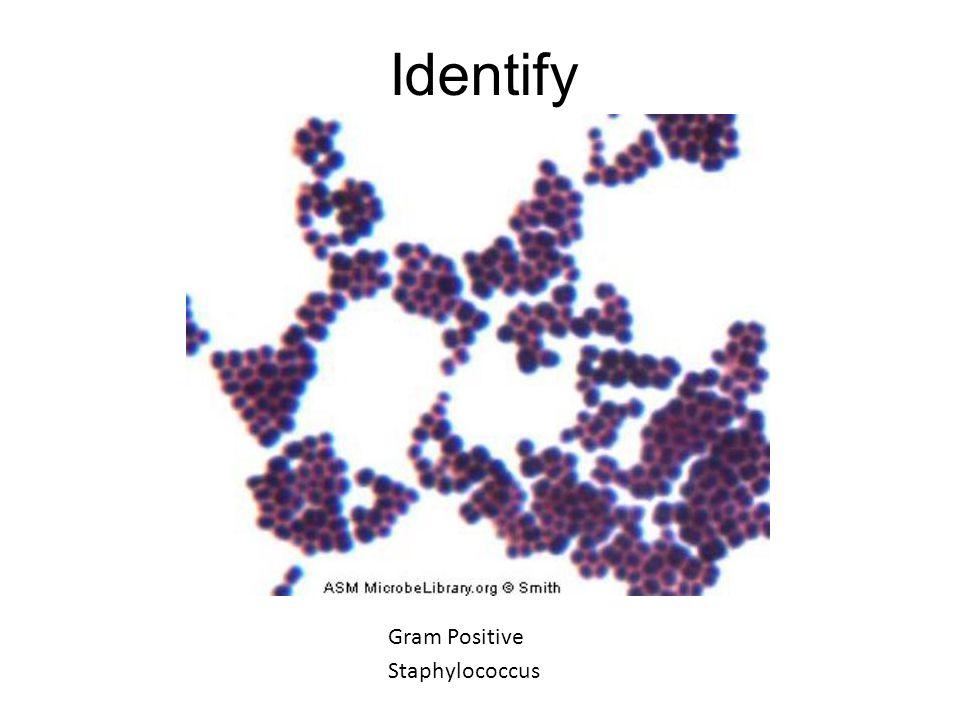 Identify Gram Positive Staphylococcus