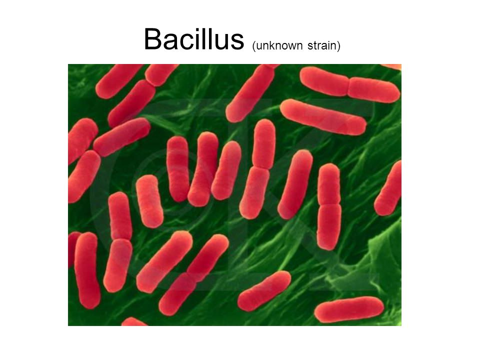 Bacillus (unknown strain)