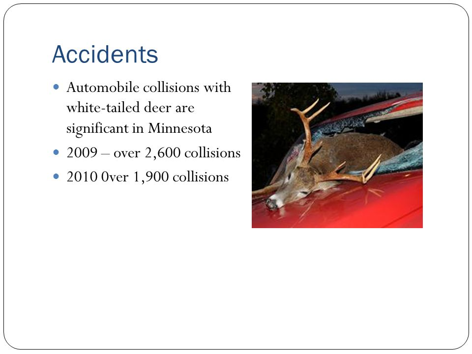 Accidents Automobile collisions with white-tailed deer are significant in Minnesota. 2009 – over 2,600 collisions.