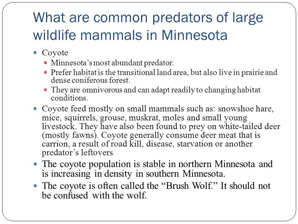 What are common predators of large wildlife mammals in Minnesota