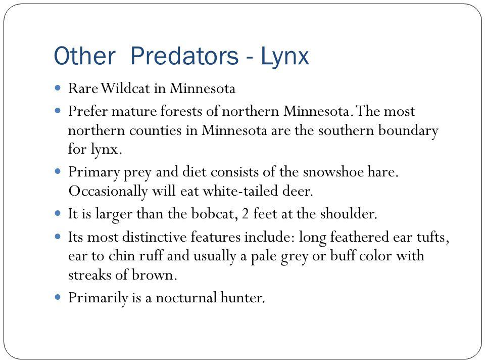 Other Predators - Lynx Rare Wildcat in Minnesota