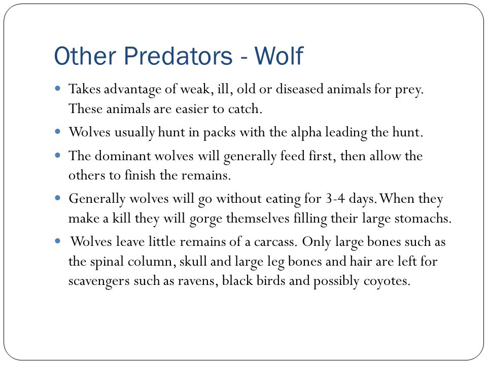 Other Predators - Wolf Takes advantage of weak, ill, old or diseased animals for prey. These animals are easier to catch.