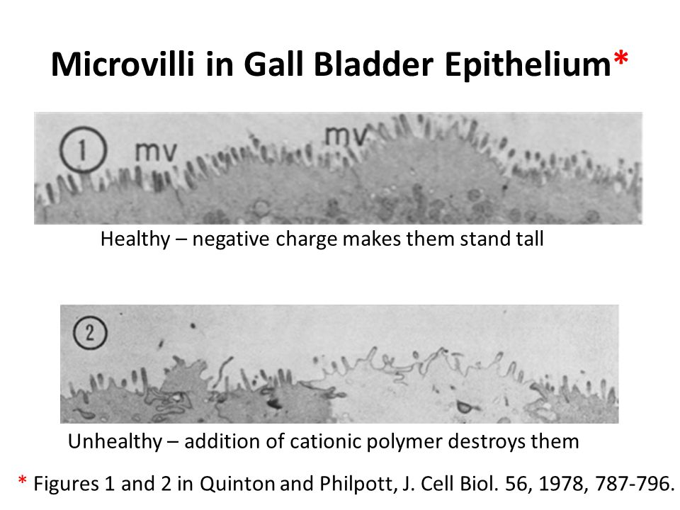 Microvilli in Gall Bladder Epithelium*