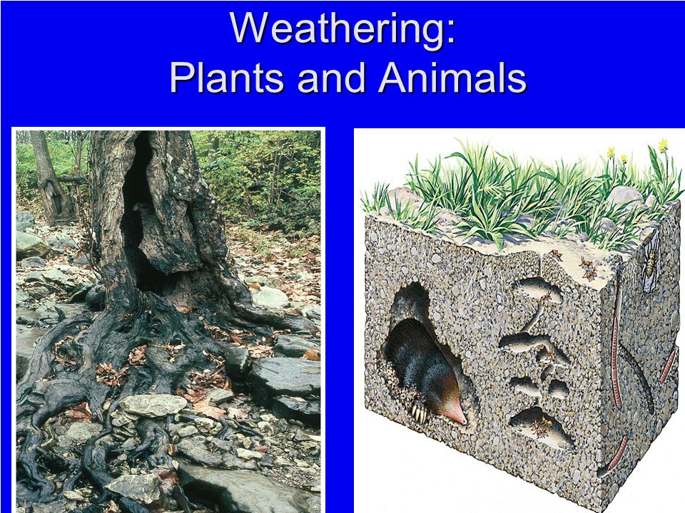 Weathering: Plants and Animals
